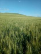 天津有机小麦
