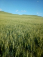 江苏有机小麦